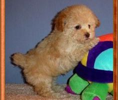 Poodle Dachshund Mix Puppies –