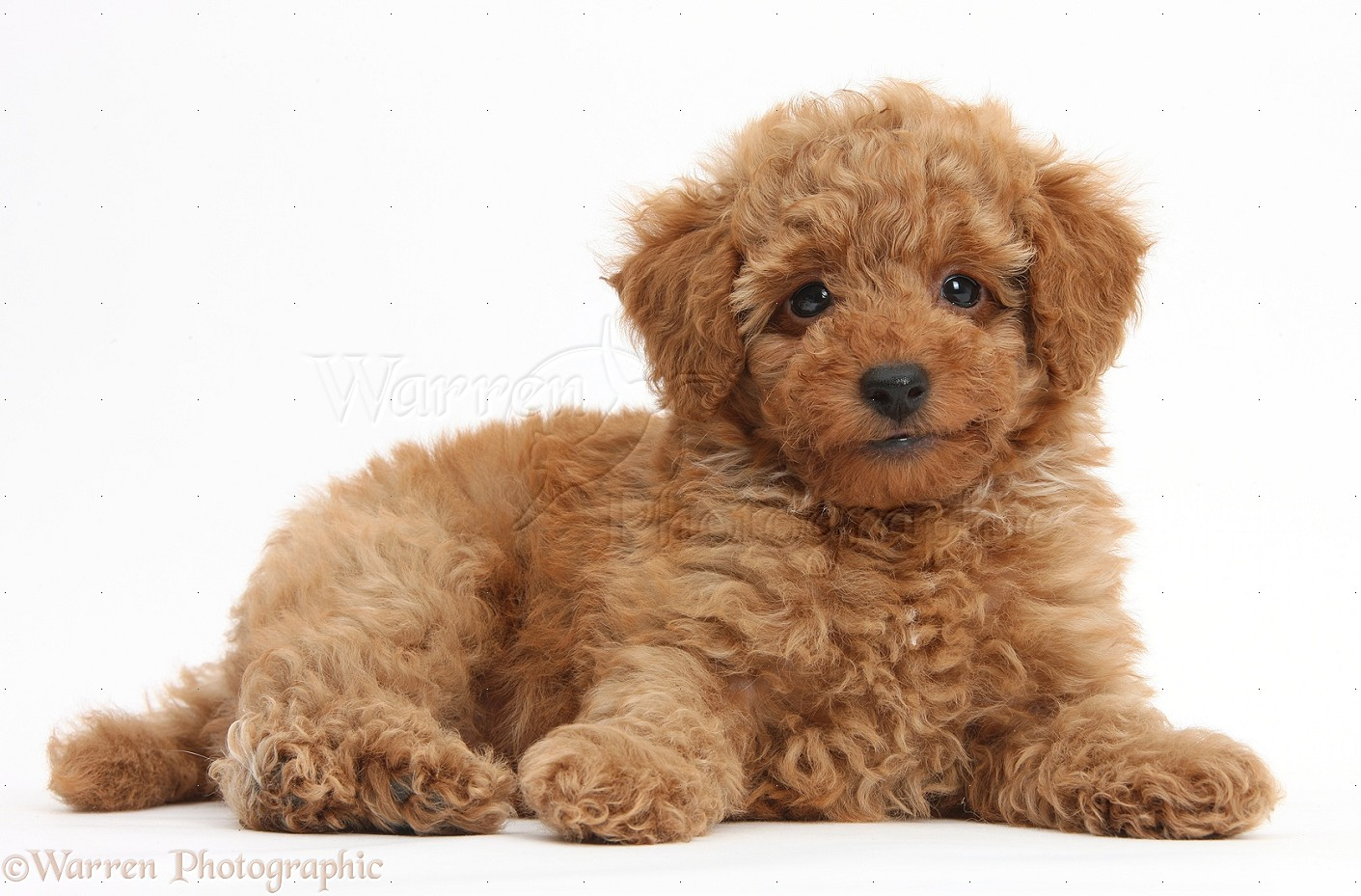 Red Toy Dogs : Poodle quot tkmechaero page