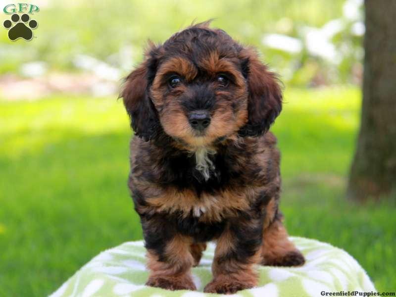 Poodle Dachshund Mix Puppies Tkmechaero