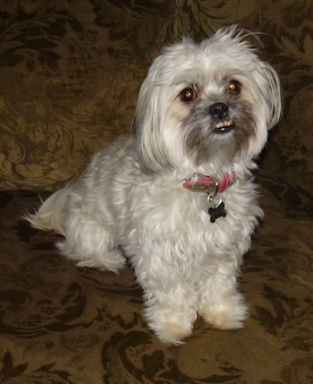 Small Shih Tzu Dogs For Sale