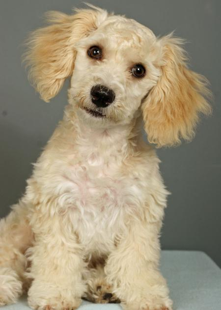 Yorkshire Terrier And Poodle Mix Puppy Tkmechaero